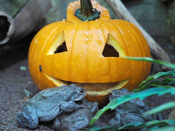 Halloween im Zoo: Colorado-Kröten inspezieren den Kürbis, Foto: Zoo Leipzig