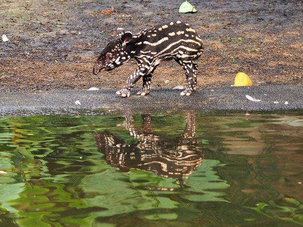 Tapirjungbulle am Wasserbecken der Anlage, Foto: Zoo Leipzig