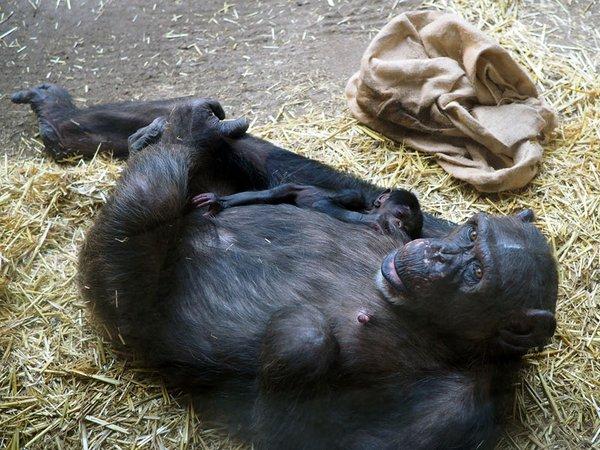 Schimpandenweibchen Fraukje mit ihrer Tochter auf der Innenanlage von Pongoland, Foto: Zoo Leipzig