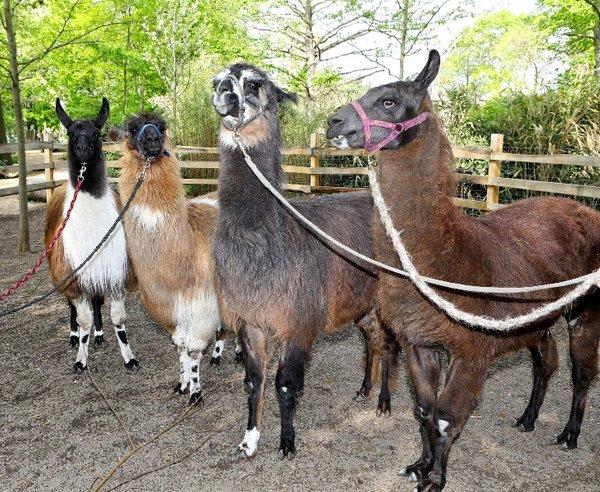 Lama-Quartett des Zoo Leipzig
