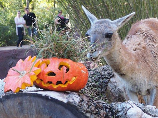Halloween im Zoo: Guanako am Kürbis, Foto: Zoo Leipzig