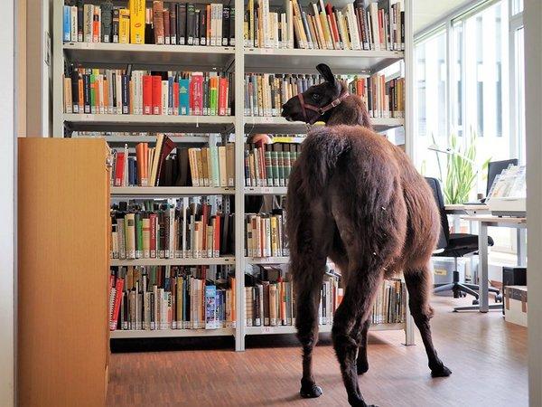 Lama Horst in der Bibliothek des Zoo Leipzig