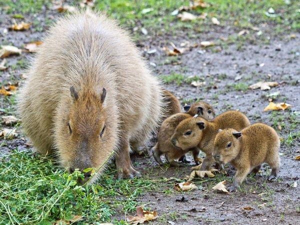 Capybara-Jungtiere mit Mutter, Foto: Zoo Leipzig