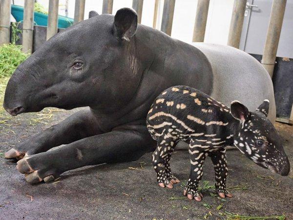 Tapirweibchen Laila mit ihrem Jungtier, Foto: Zoo Leipzig