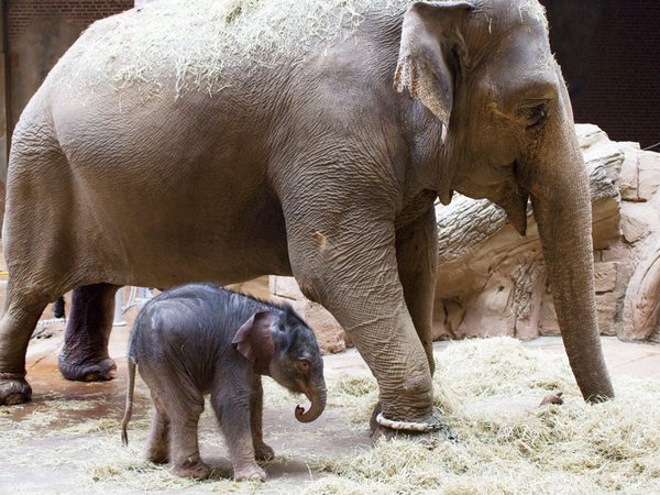 Elefant Hoa mit Kalb, Foto: Zoo Leipzig