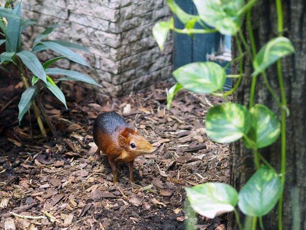 Die Neuen im Vogelhaus: Rotschulter Rüsselhündchen, Foto: Zoo Leipzig