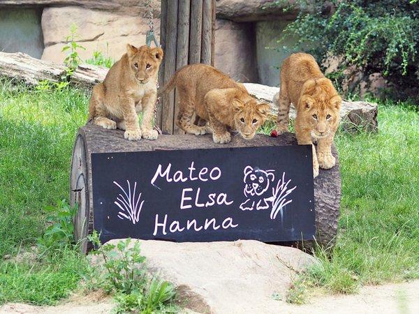 Löwenjungtiere: Mateo, Elsa und Hanna, Foto: Zoo Leipzig