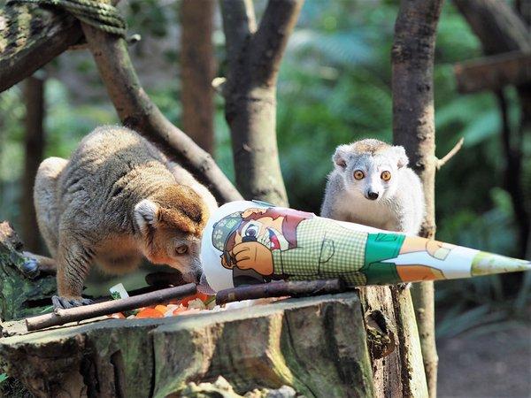 Kronenmaki-Jungtier Amy mit Zuckertüte und Mutter Amber, Foto: Zoo Leipzig