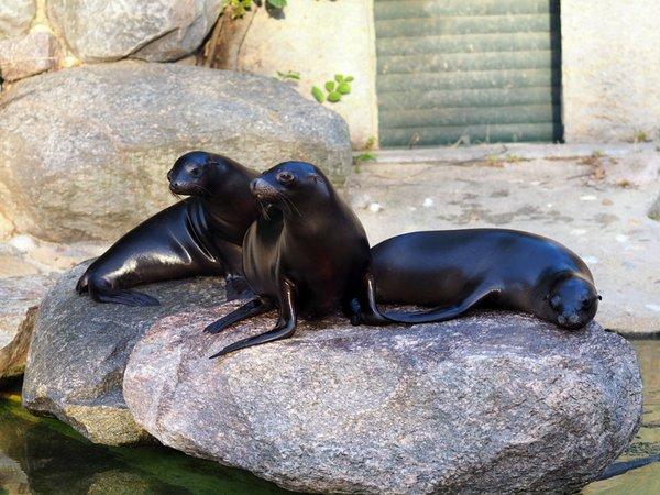 Seelöwen Hilla, Sissi und Alice erkunden ihr neues Revier, Foto: Zoo Leipzig