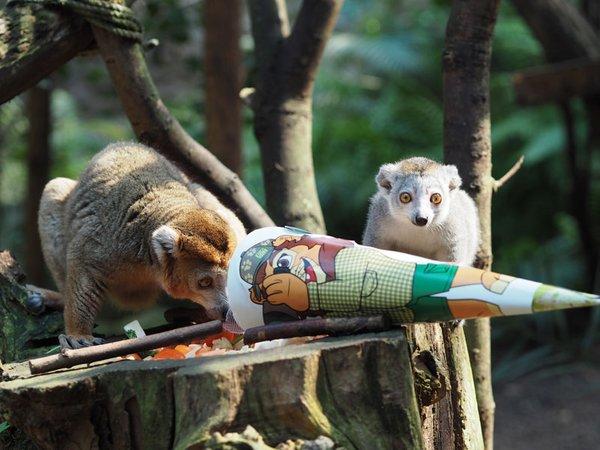 Schulanfang bei den Kronenmakis, Foto: Zoo Leipzig