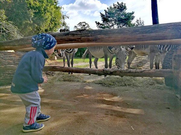 Bei den Entdeckertagen mit den Zebras auf Tuchfühlung gehen, Foto: Zoo Leipzig