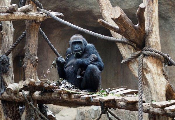 Gorillaweibchen Kibara mit Tochter Kianga