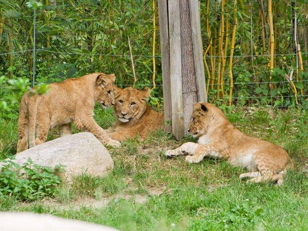 Die drei Löwenjungtiere brauchen einen Namen, Foto: Zoo Leipzig
