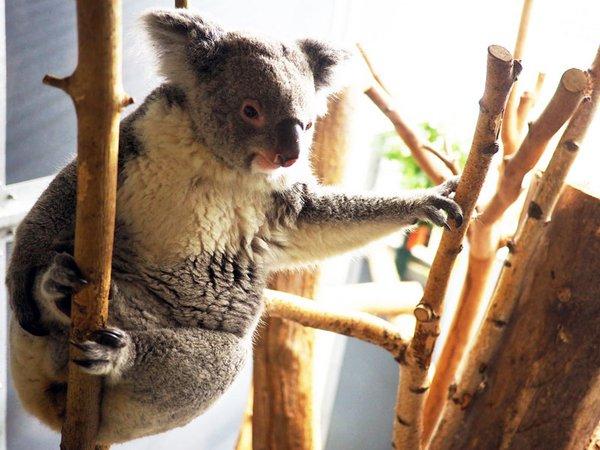 Koala-Weibchen Mandie, Foto: Zoo Leipzig