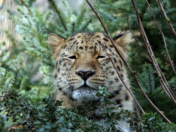 Amurloepard Xembalo im Leoparden-Tal, Foto: Zoo Leipzig