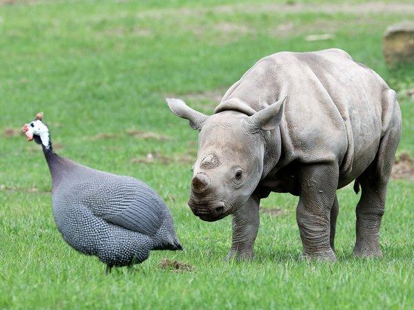 Nashornulle Sudan mit Perlhuhn auf der Kiwara-Kopje, Foto: Zoo Leipzig