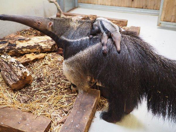 Ameisenbärin mit Jungtier, Foto: Zoo Leipzig