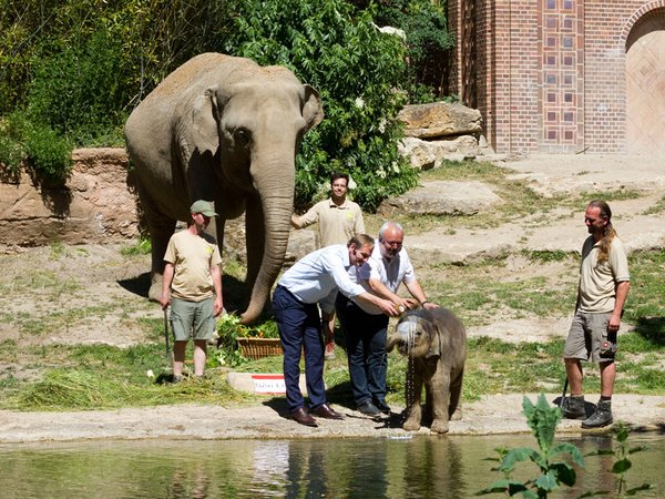 Mit Ersatzmilch getauft - der kleine Leipziger Bulle Ben Long, Foto: Zoo Leipzig