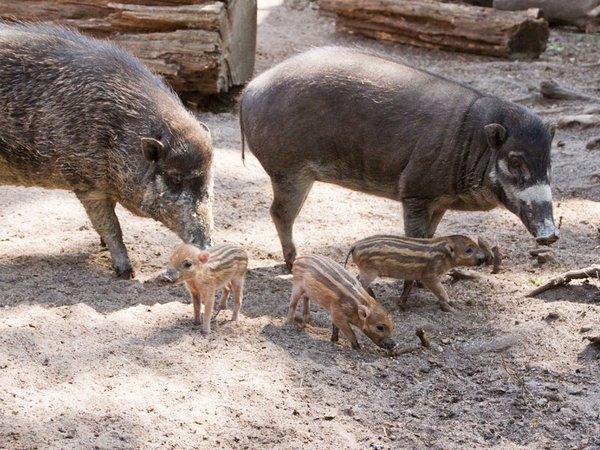 Drei kleine Pustelschweine, Foto: Zoo Leipzig