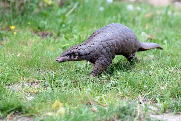 Bild vom Schuppentier Tou Feng aus dem Zoo Leipzig